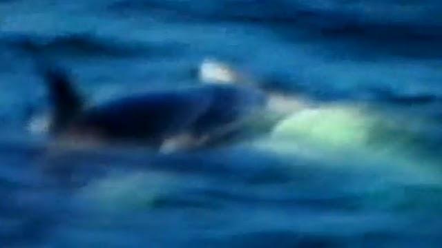 Killer Whale PRM's picture